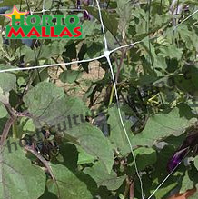 eggplant crop with vertical support system