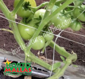 double wall system on tomato plant