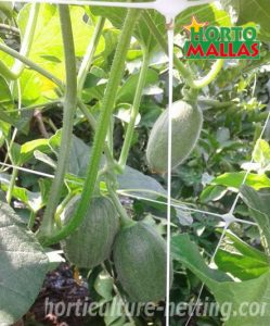 cantaloupe crops tutoring by hortomallas support net