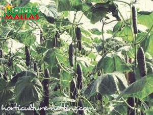 espalier mesh and cucumber plants