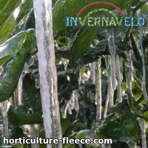 frozen plants damaged by the extreme frost weather