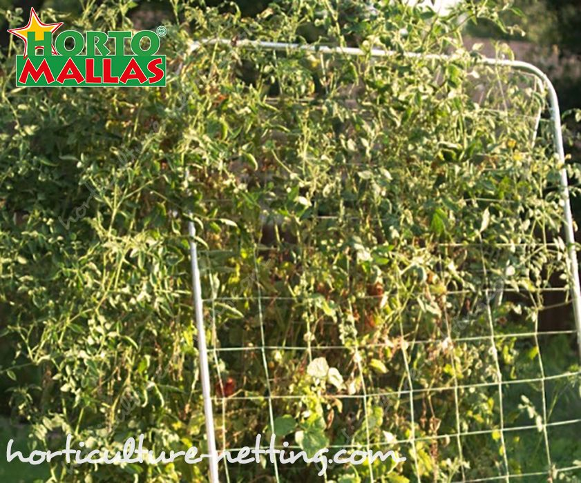 HORTOMALLAS trellis netting reduces mechanical stress in vegetable crops.